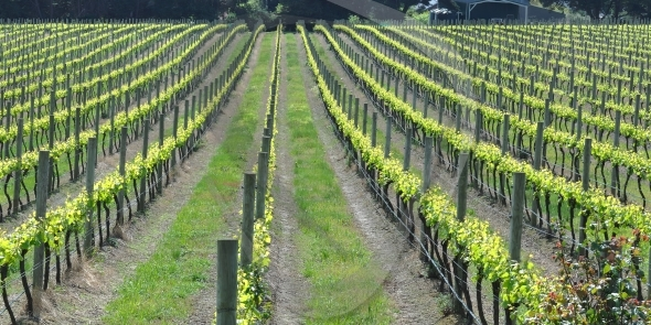 Rows in vineyard