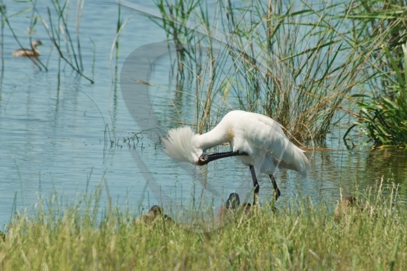Royal spoonbill in bowing