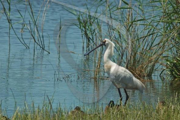 Royal spoonbill in swamp