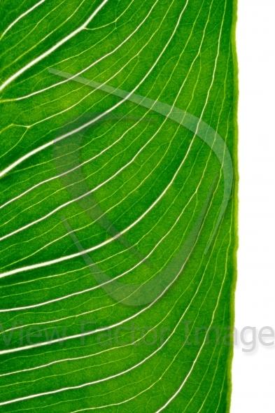 Calla leaf vertical