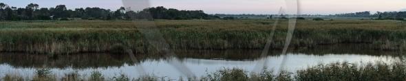 Reed panorama at swamp