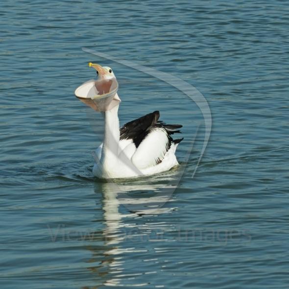 Pelican big mouth