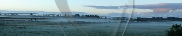 Cows in fog panorama
