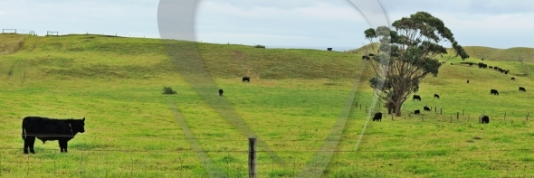 Panorama with calf at farmland
