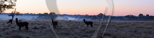 Alpaca in morning panorama