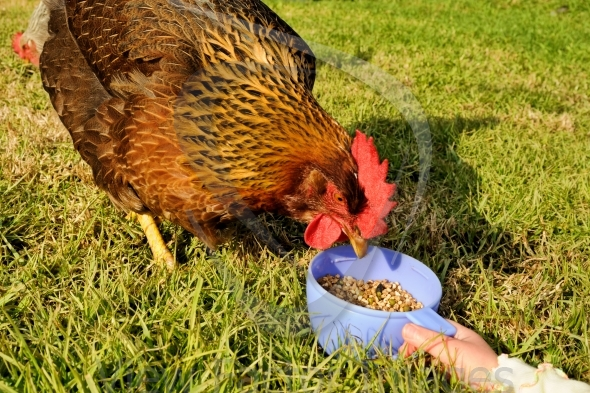 Feeding hen from cup