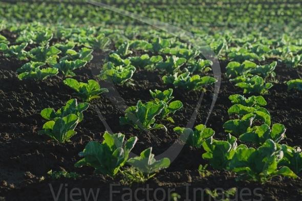 Lettuce plantation details