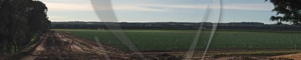 Panorama of lettuce plantation
