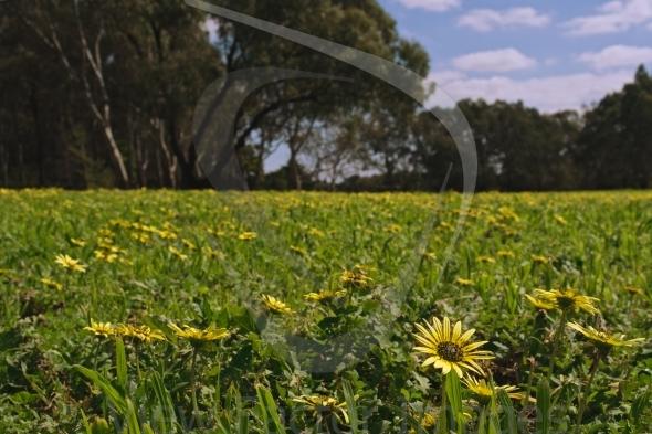 Capweed closeup in park