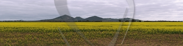Canola and You Yangs