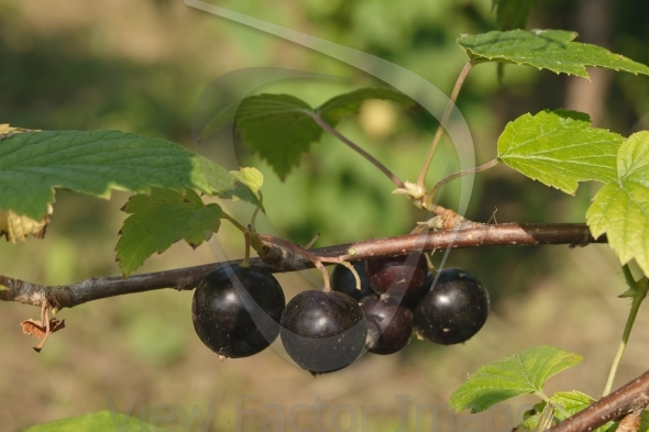 Blackcurrant on branch
