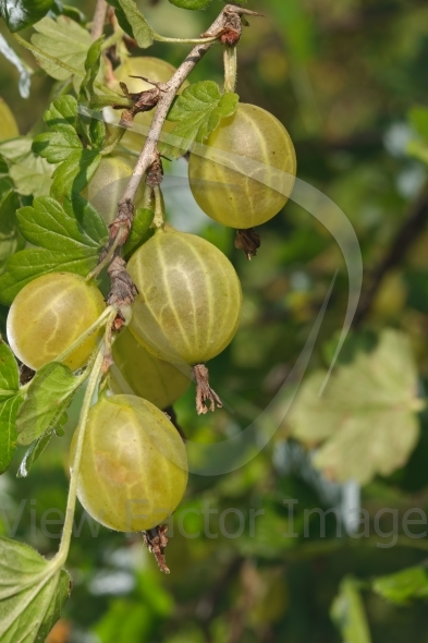 Gooseberry berries in row