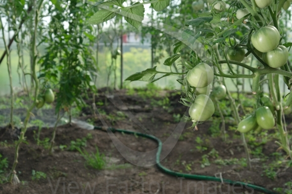 Hydroponics tomatoes and hose