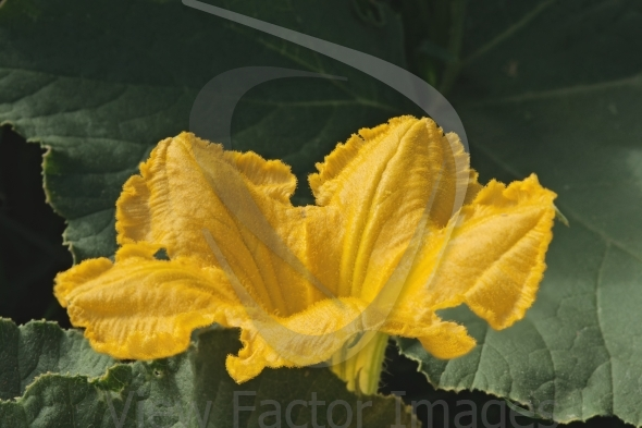 Pumpkin flower closeup