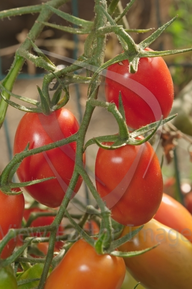 Pear tomatoes on branch