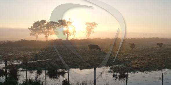 Cows in morning sun