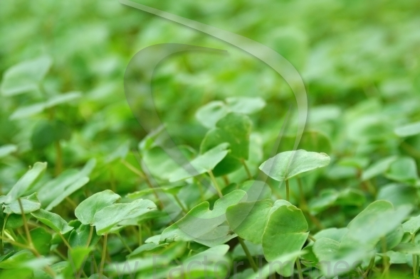 Buckwheat close-up