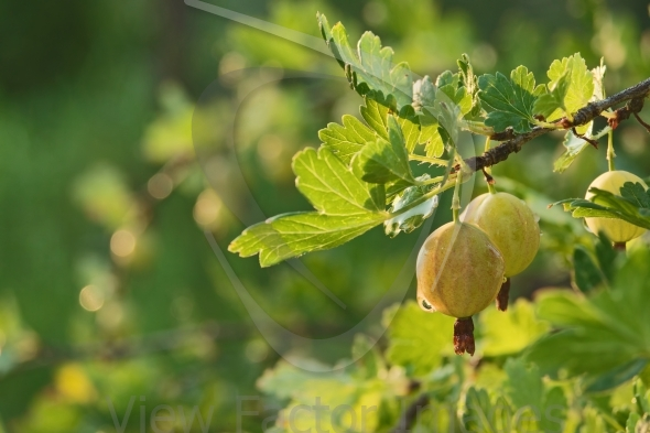 Gooseberry on branch