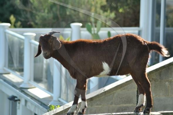 Goat at balcony